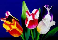tulip, the best flower of sping